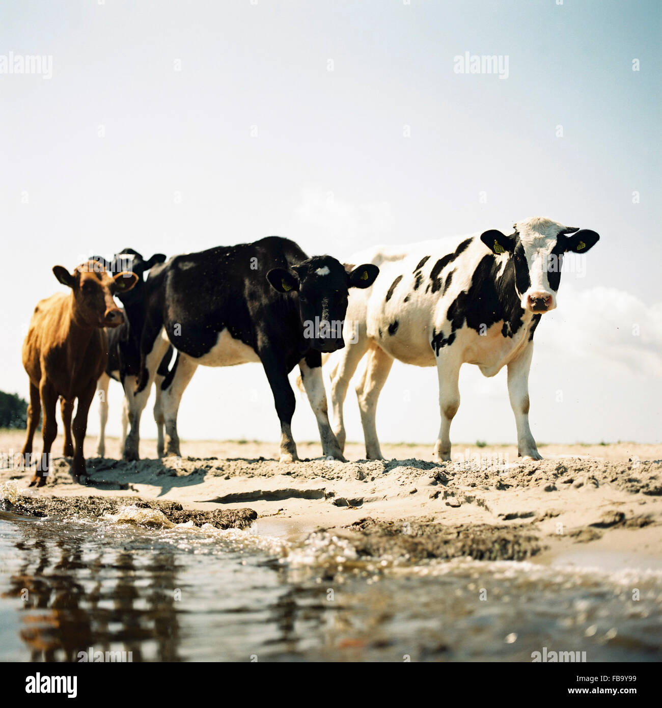 Sweden, Oland, Four cows on beach - Stock Image