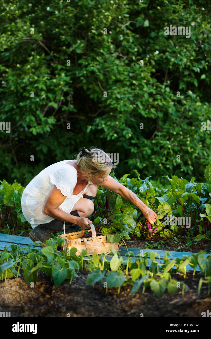 Sweden, Ostergotland, Mature woman harvesting fruit - Stock Image