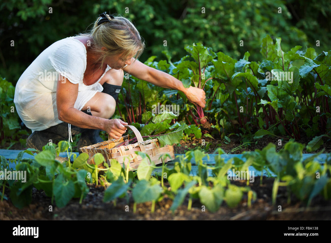 Sweden, Ostergotland, Mature woman harvesting vegetables - Stock Image