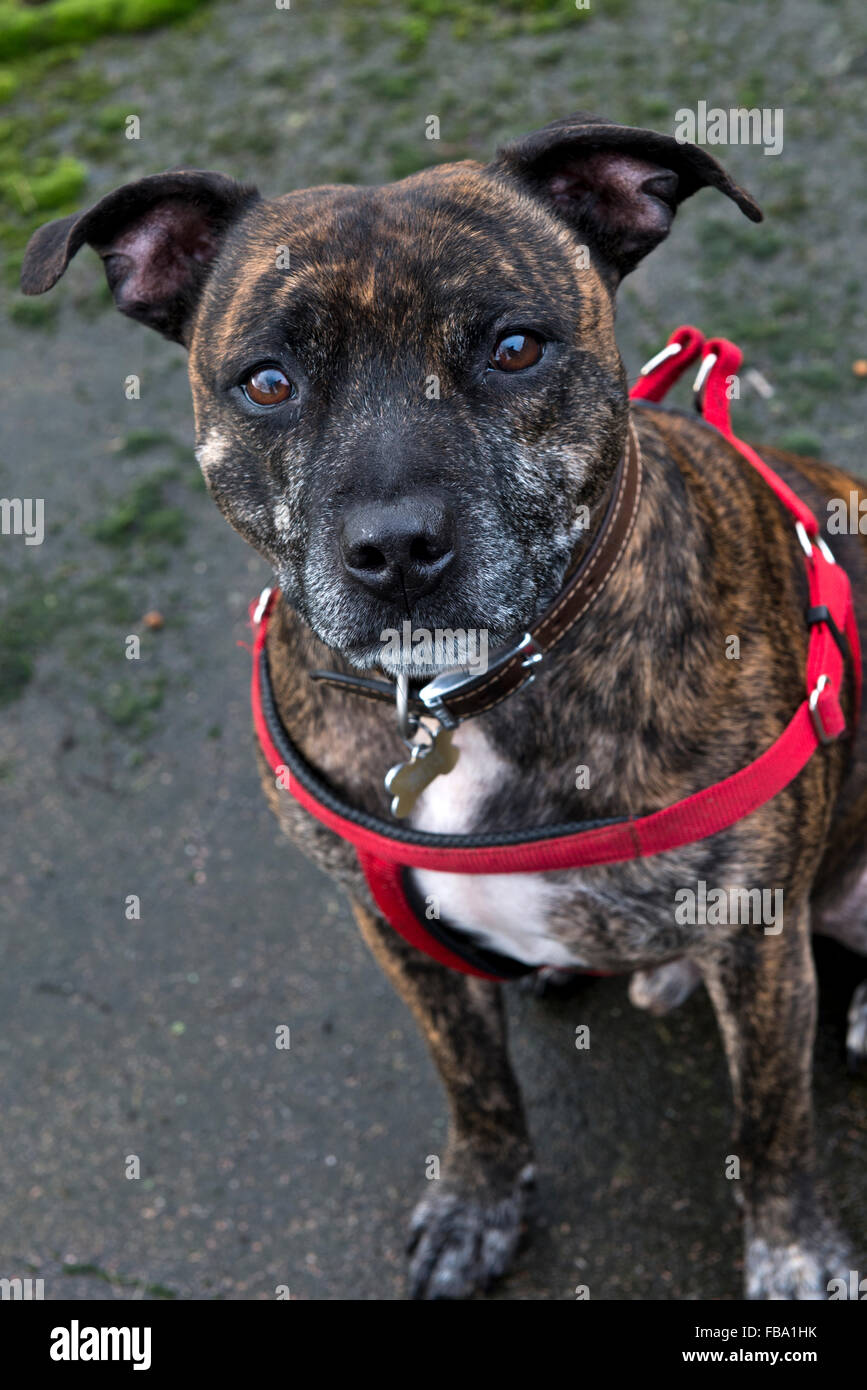 A portrait of a male Staffordshire Bull Terrier - Stock Image