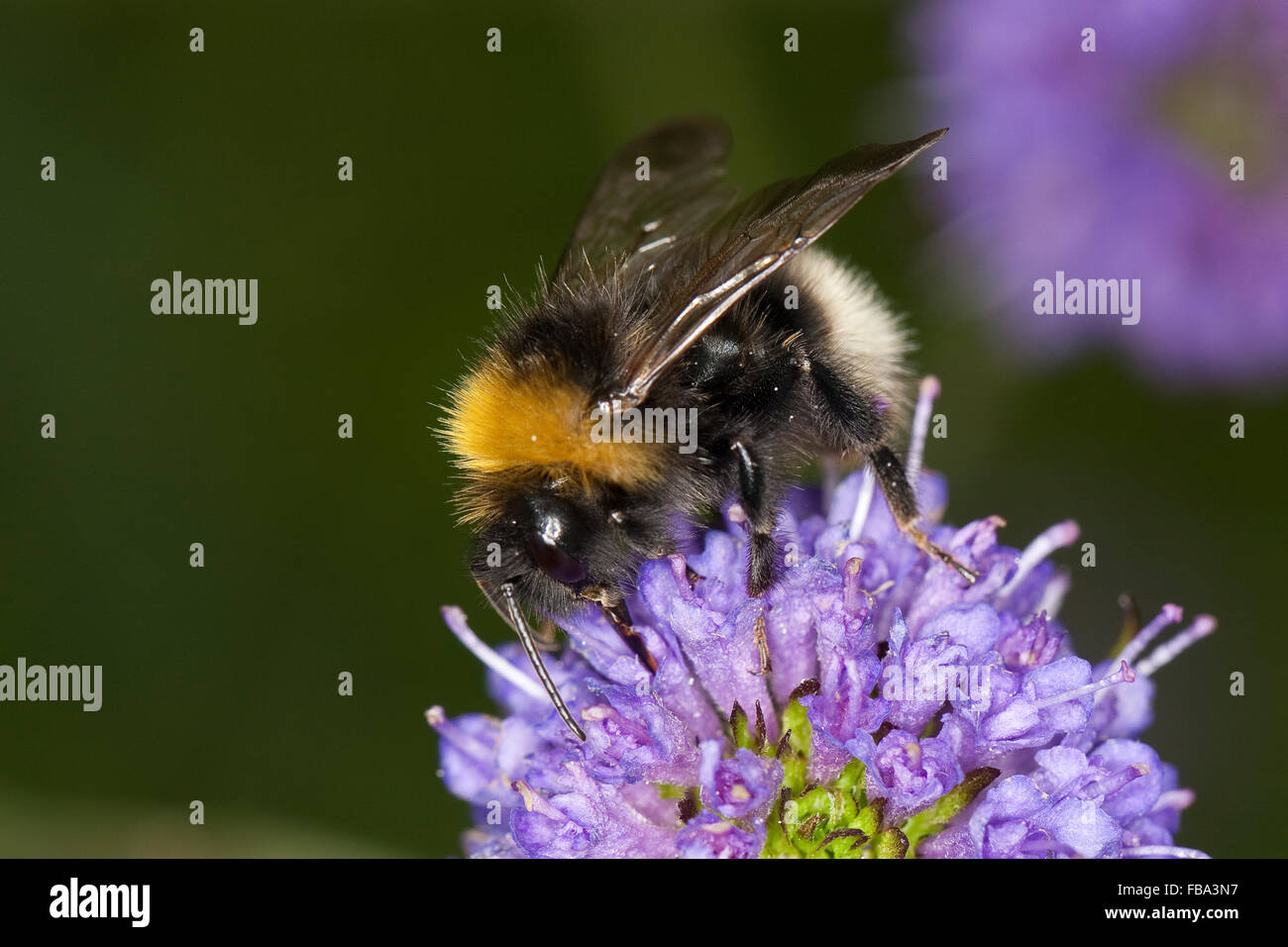Cuckoo bee, Schmarotzerhummel, Kuckuckshummel, Schmarotzer-Hummel, Kuckucks-Hummel, Psithyrus norvegicus oder Bombus - Stock Image