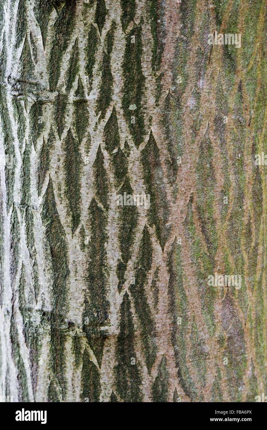 Carpinus Betulus Fastigiata. Hornbeam tree bark - Stock Image