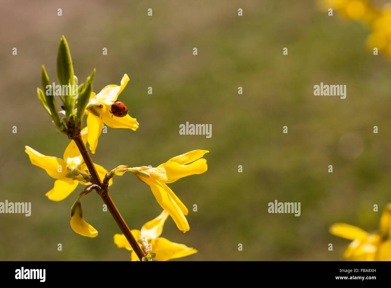 Ladybug (Coccinellidae) on flower Stock Photo