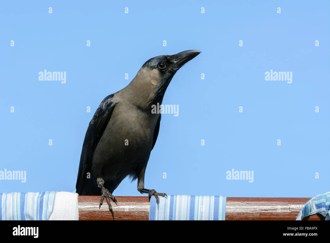 Close up of an Indian House Crow (Corvus splendens), one of the most common birds in Goa, India, Asia. - Stock Image