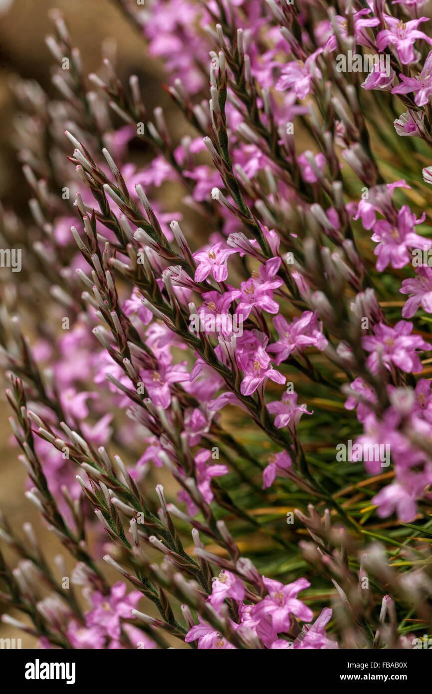 Prickly thrift, Acantholimon acerosum - Stock Image