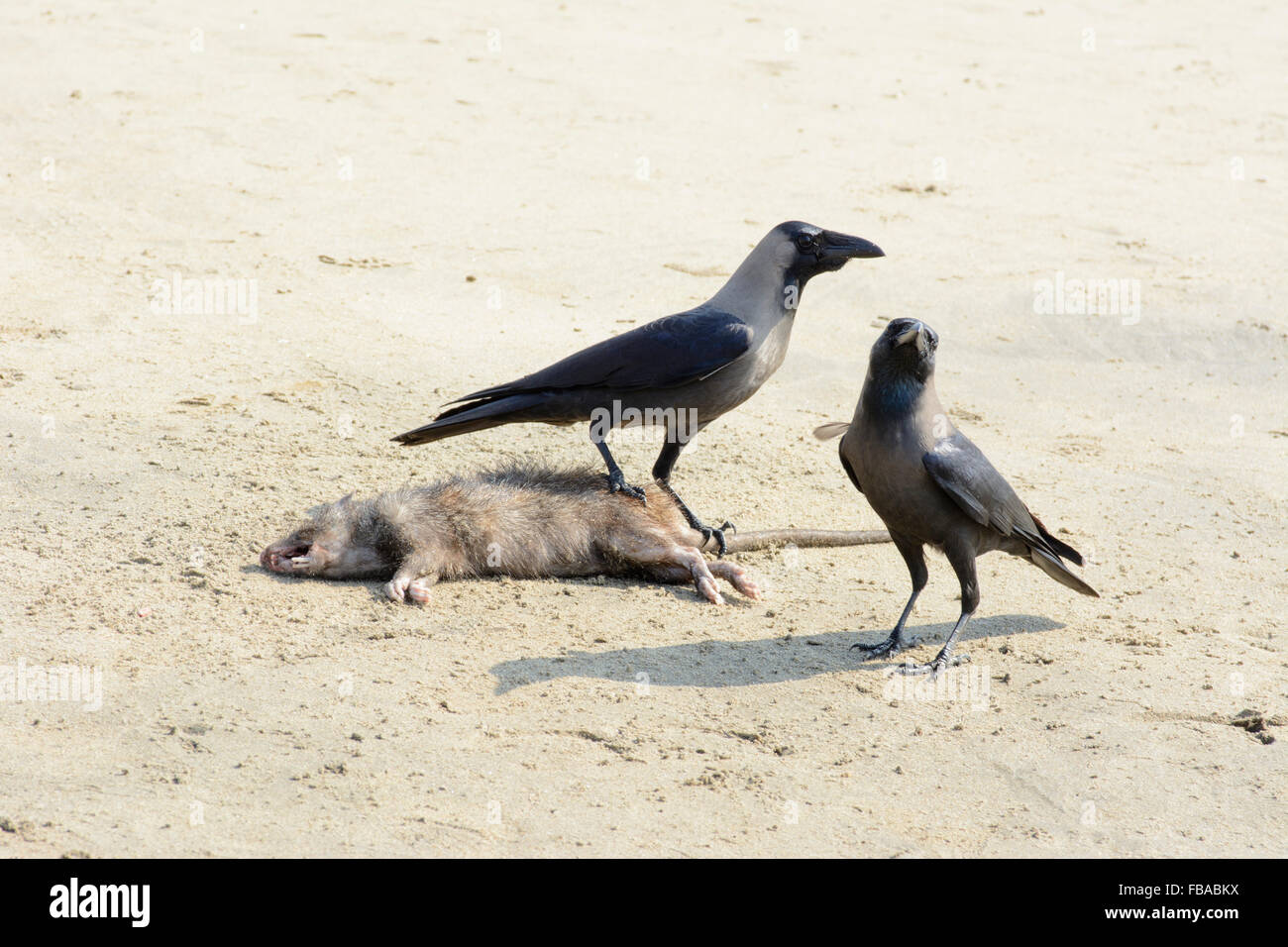 Two Indian House Crows (Corvus splendens) discover a dead rat on Arambol beach, North Goa, India - Stock Image