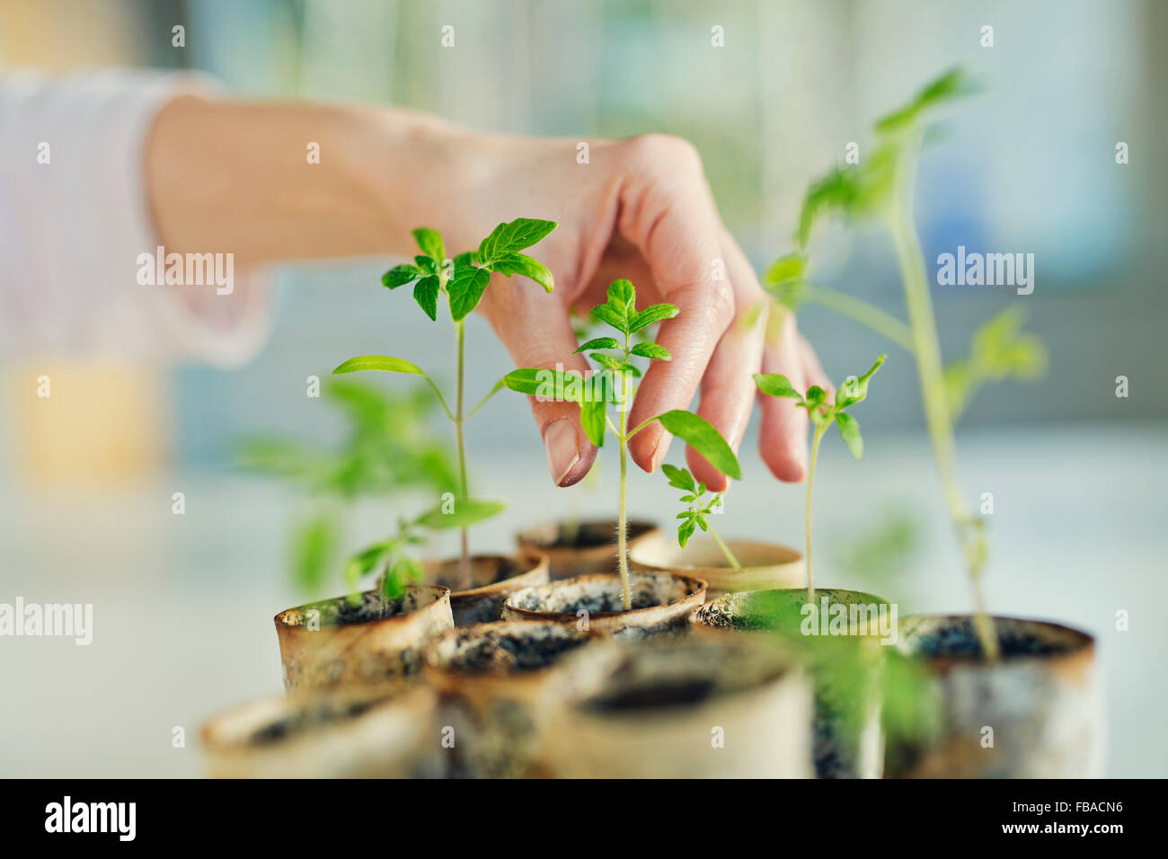 Finland, Woman´s hand holding tomato seedling - Stock Image