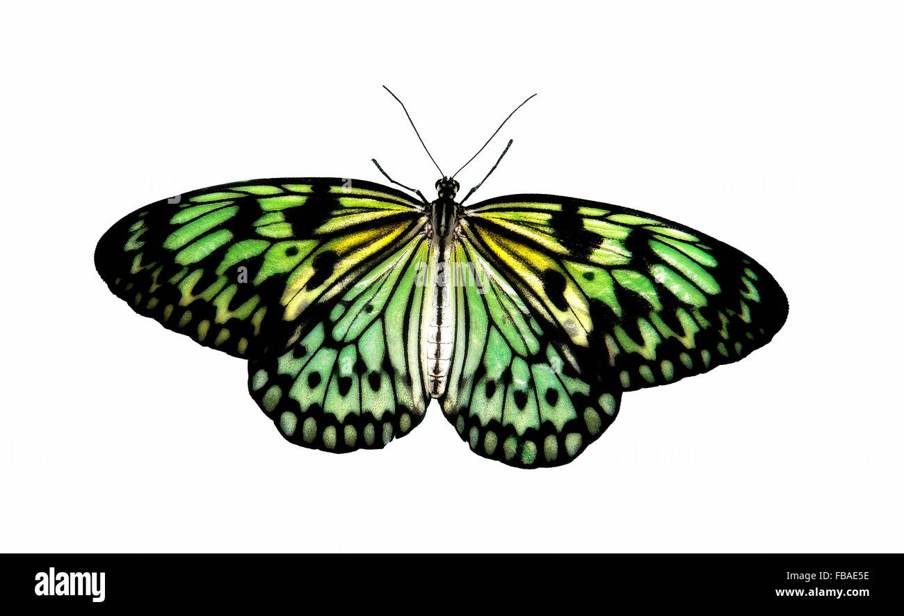 Tropical Butterfly Aurora in transmitted light, concept - Stock Image