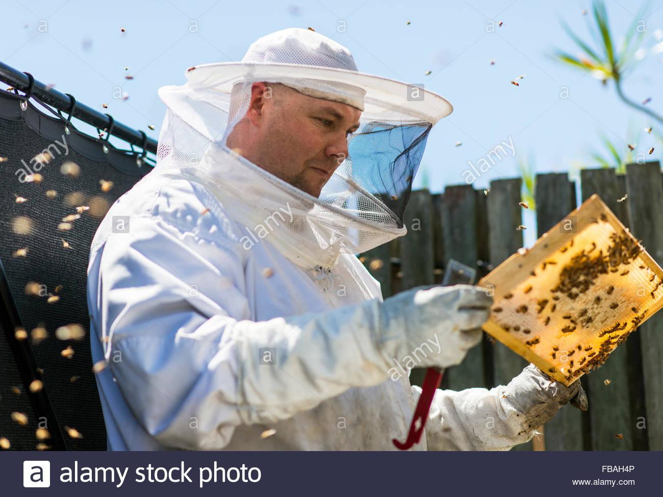 Australia, Queensland, Beekeeper inspecting honeycomb - Stock Image