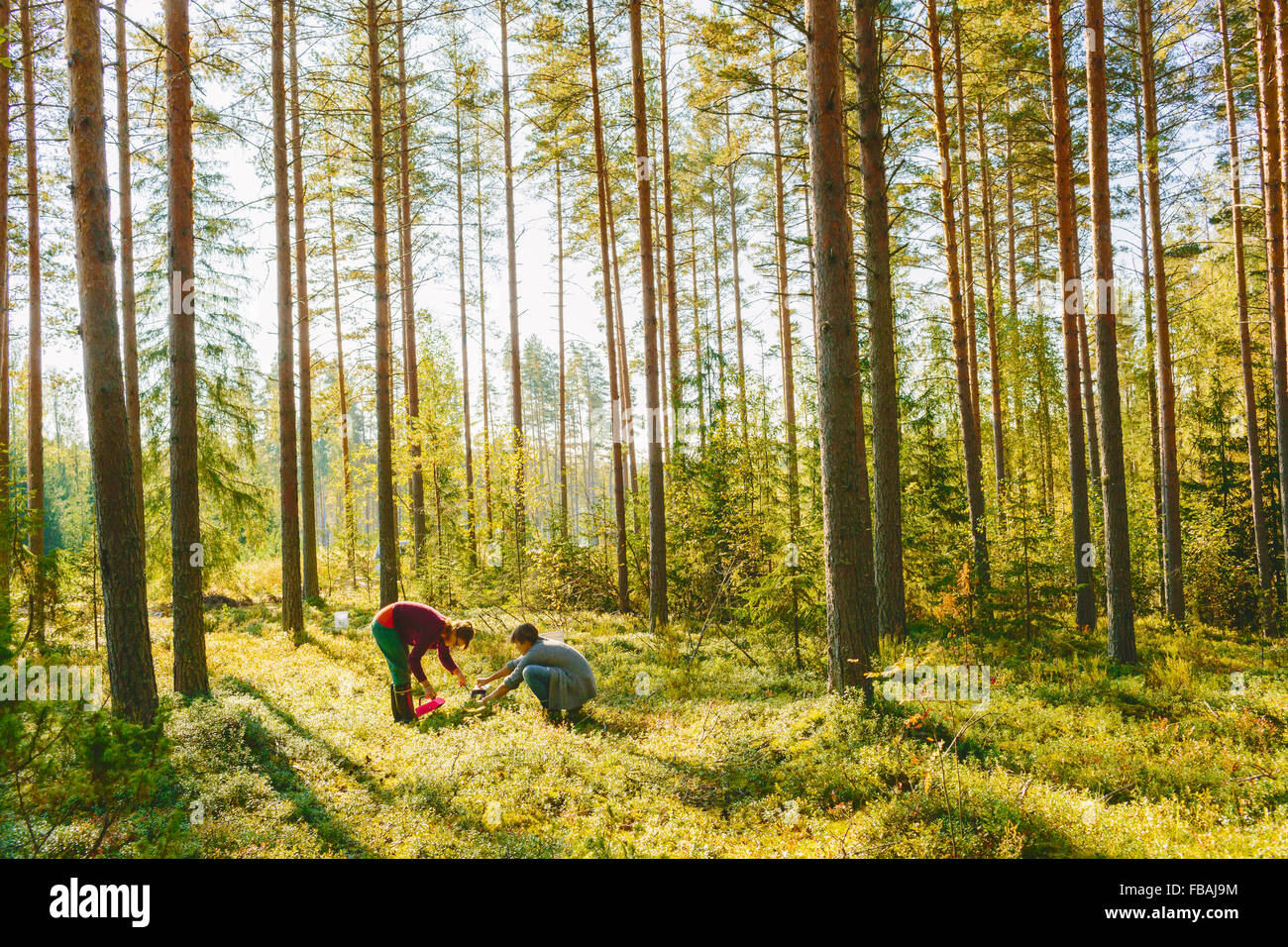 Finland, Etela-Savo, Huttula, Two women picking mushrooms in forest Stock Photo