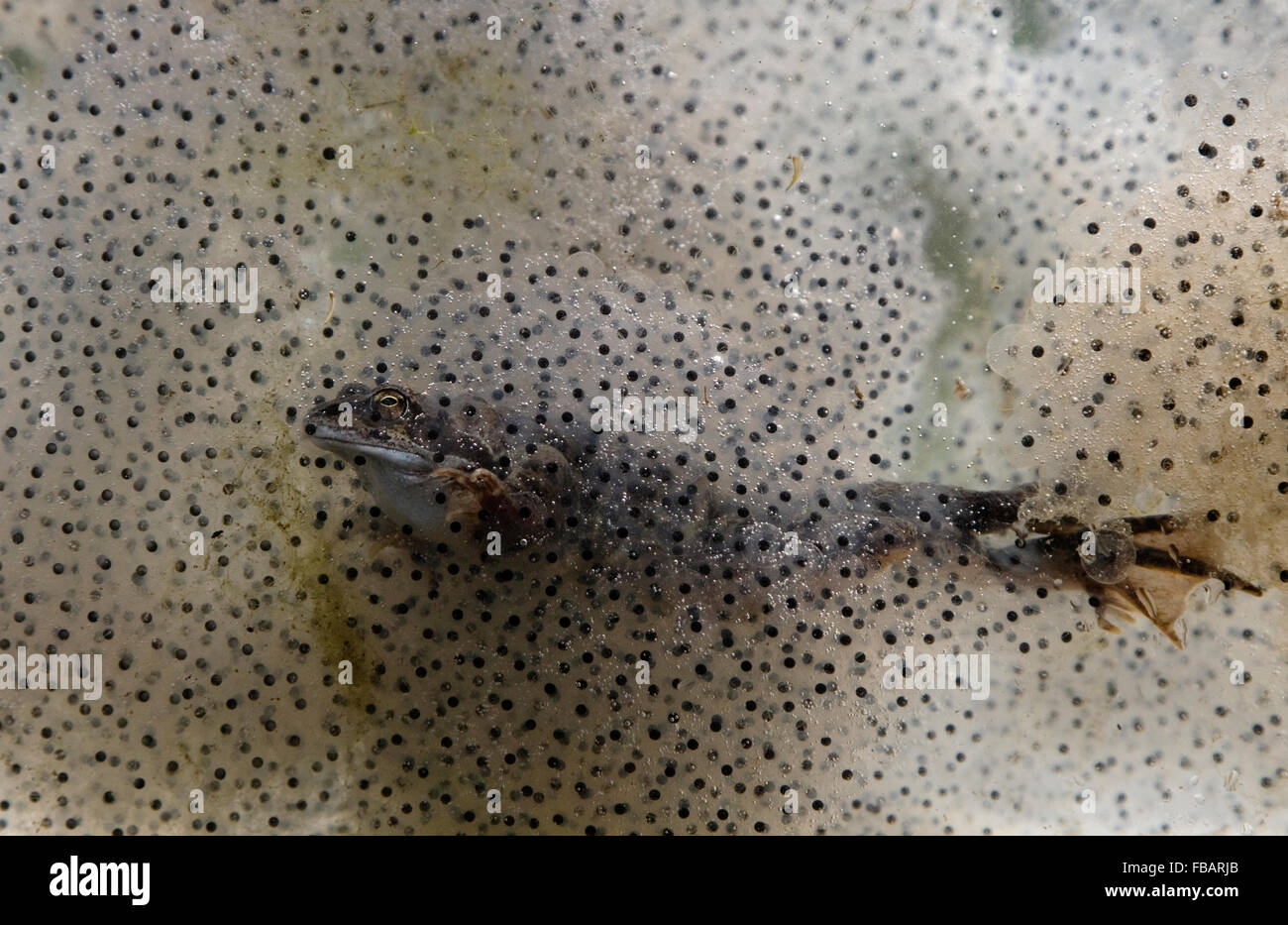 Common Frog (Rana temporaria), swimming through frogspawn, showing webbed feet, in garden pond, Bentley, Suffolk, - Stock Image