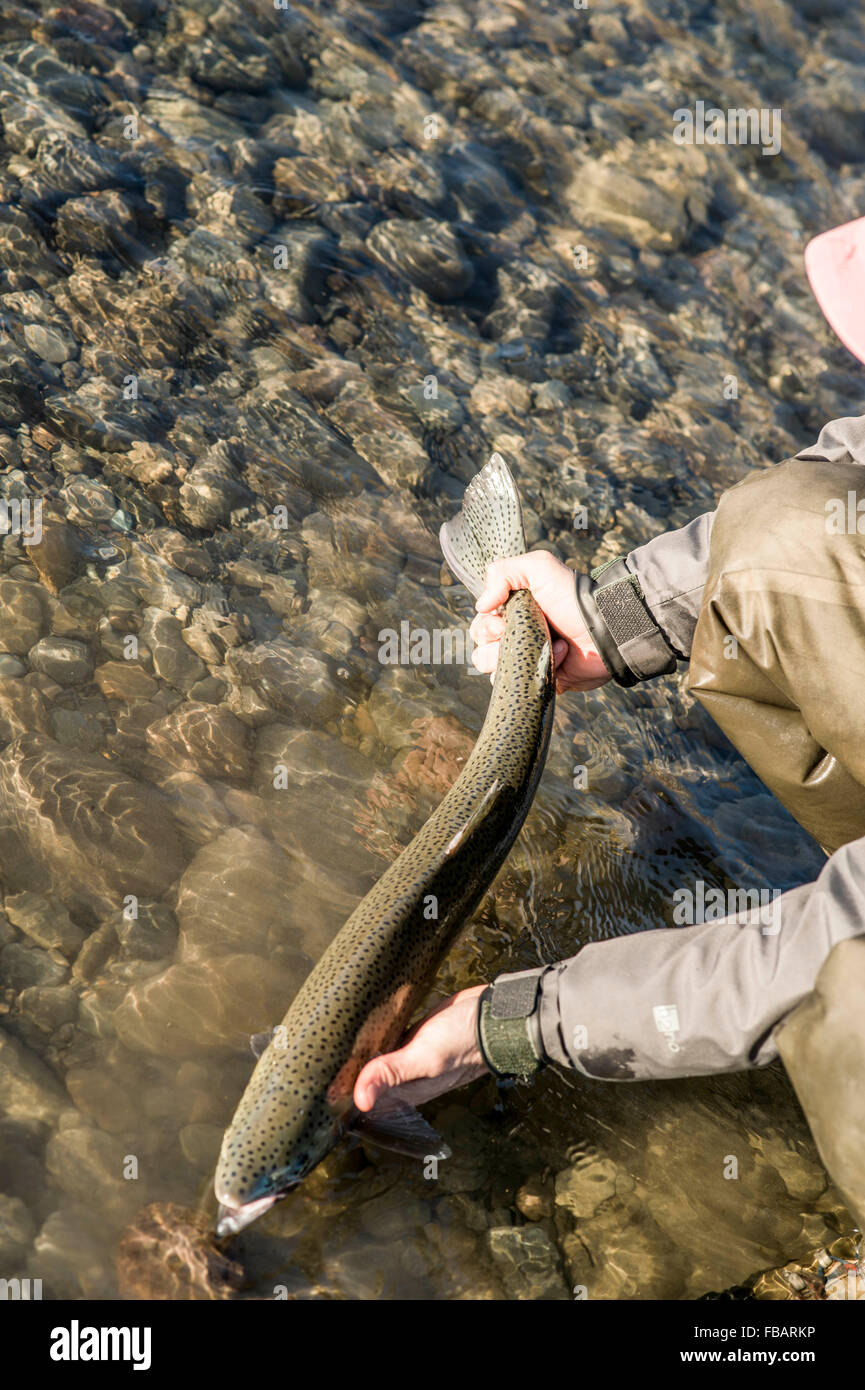 Man releasing a wild steelhead trout in Forks, Washington - Stock Image