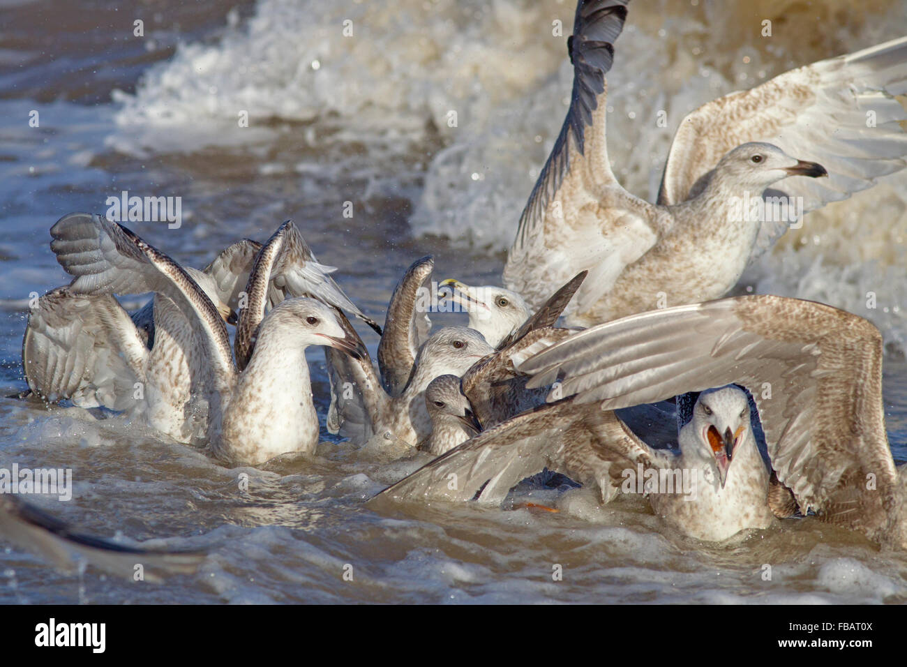 Herring Gulls Larus argentatus Immature birds feeding in surf - Stock Image