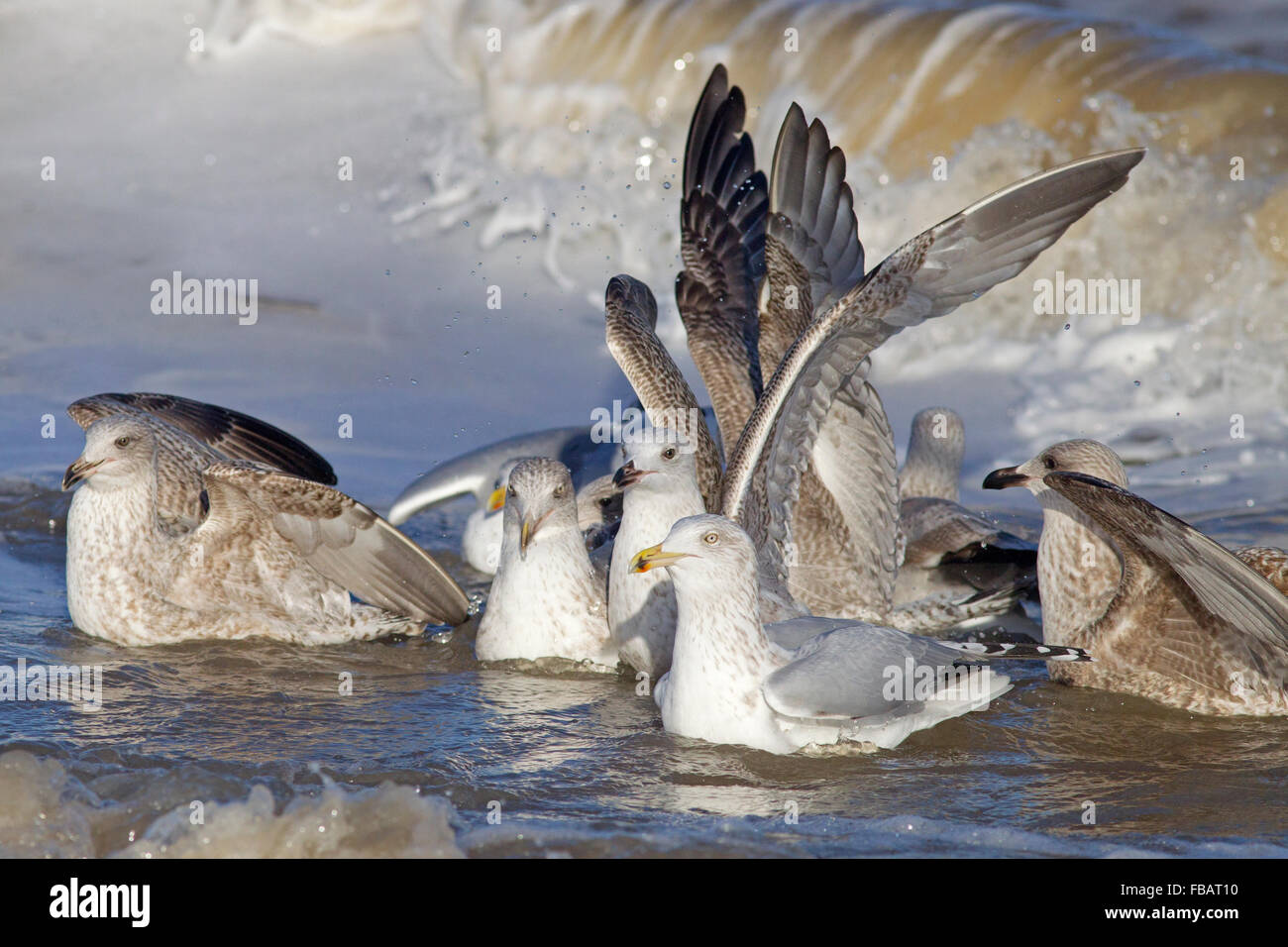 Herring Gull Larus argentatus Immature birds feeding in surf - Stock Image