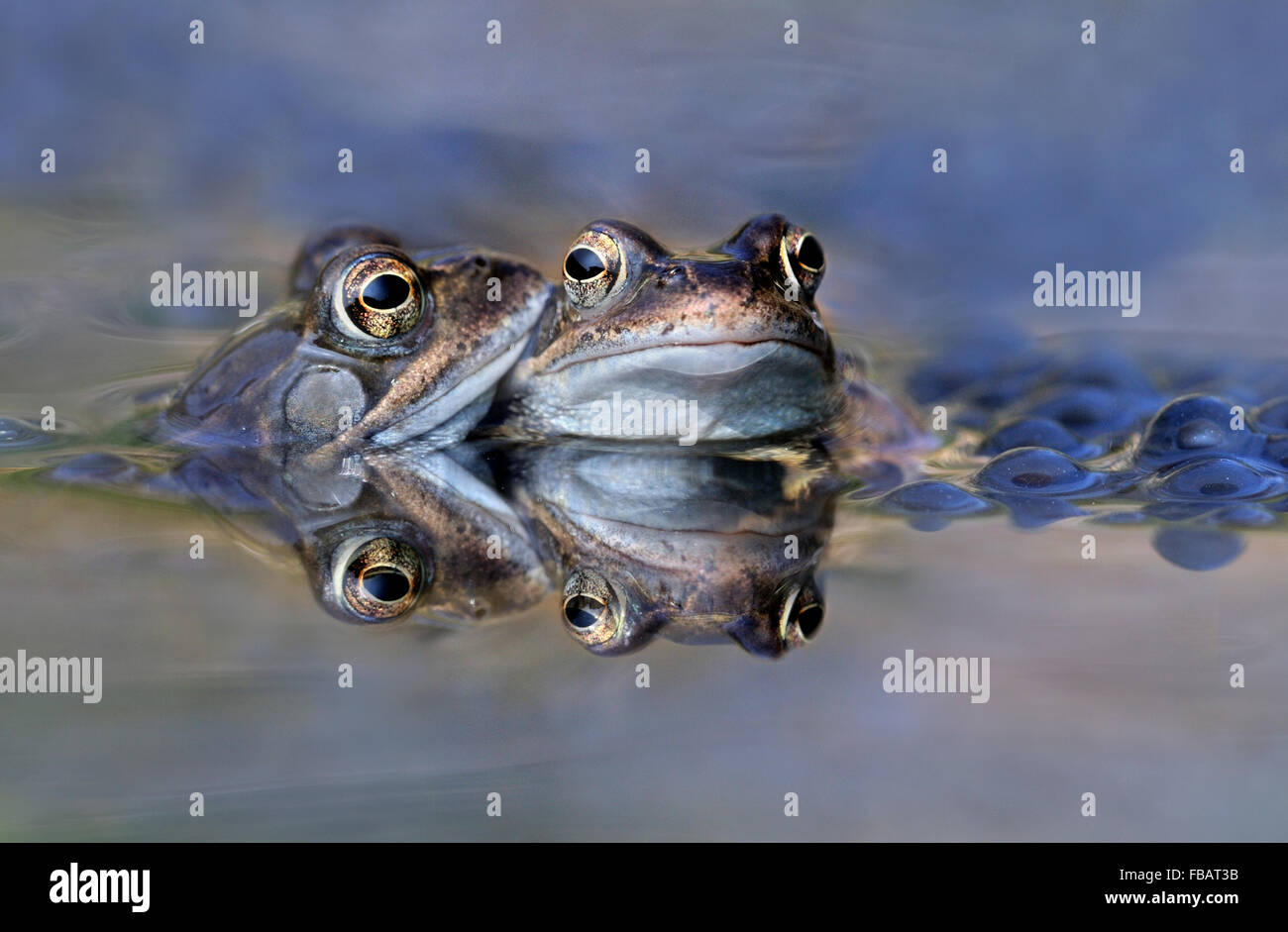 Adult common frog pair (Rana temporaria) in garden pond, surrounded by frogspawn, with reflection, Bentley, Suffolk, - Stock Image