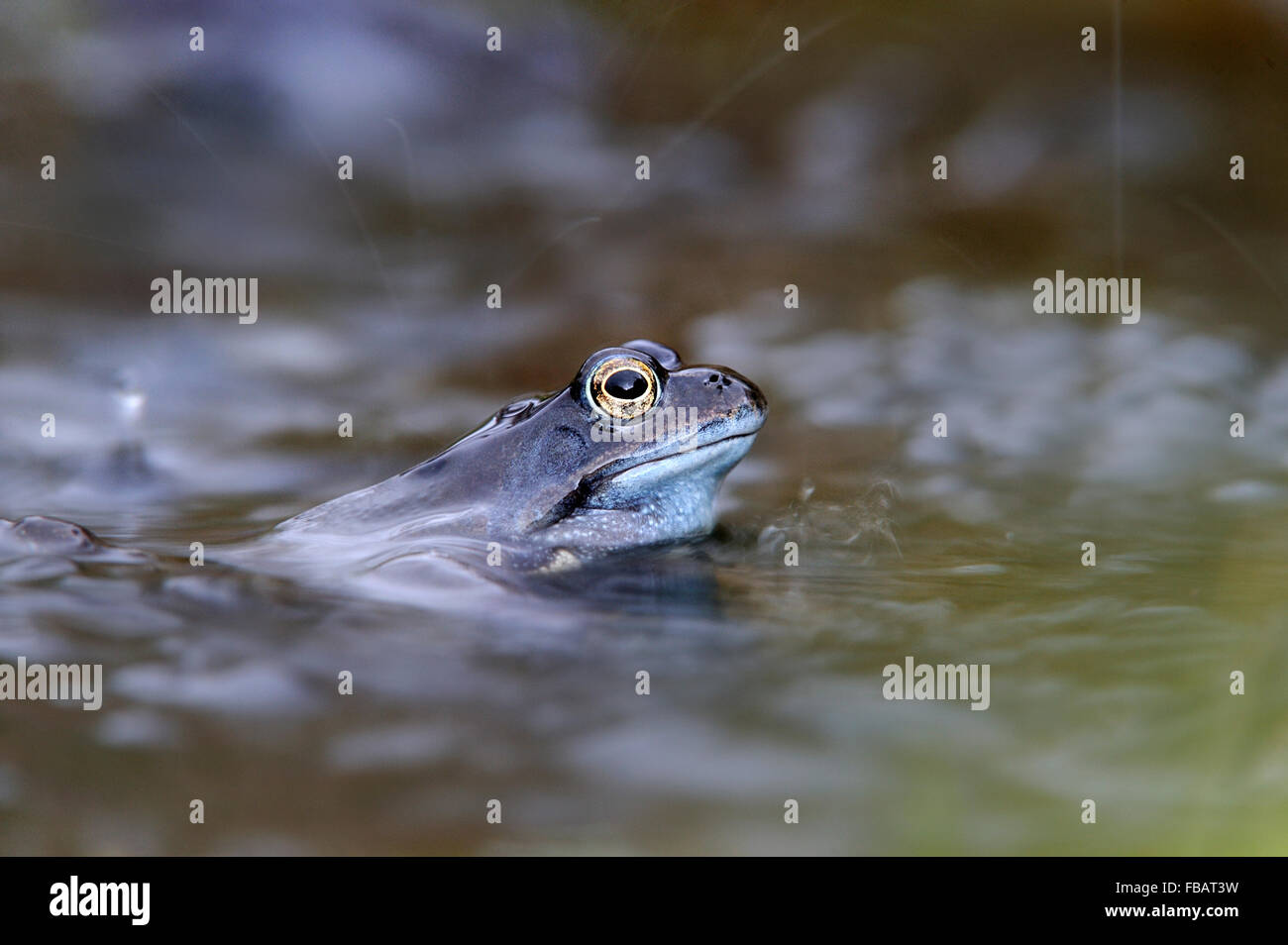 Adult common frog (Rana temporaria) in garden pond in rain shower, during April 2013, Bentley, Suffolk - Stock Image