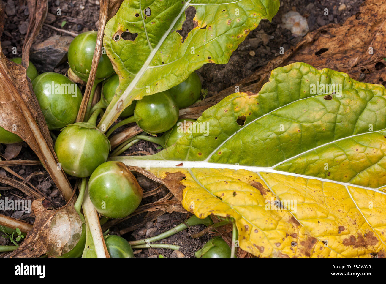 Mandragora Officinarum Stock Photos Mandragora Officinarum Stock