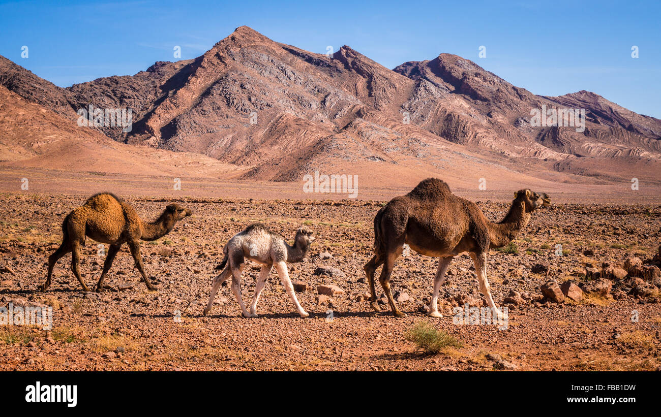 Baby camels following mother, Morocco - Stock Image