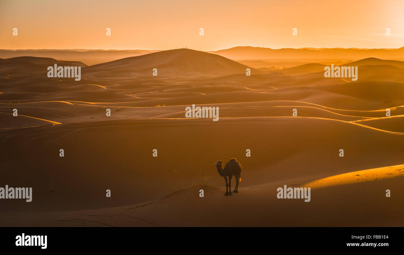 Camel and setting sun in the Sahara - Stock Image