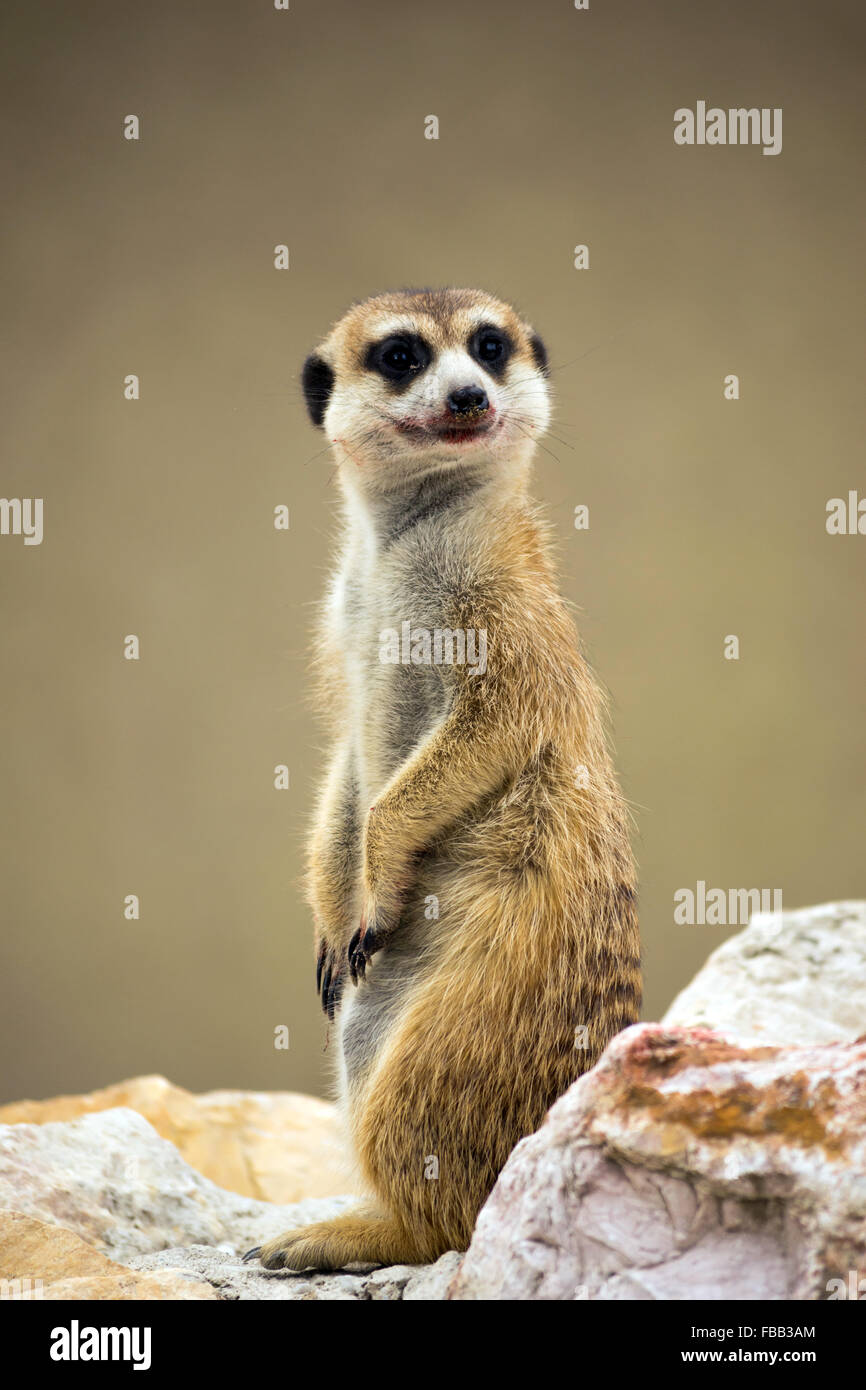 Meerkat (Suricata suricatta) with bloody smile - Stock Image