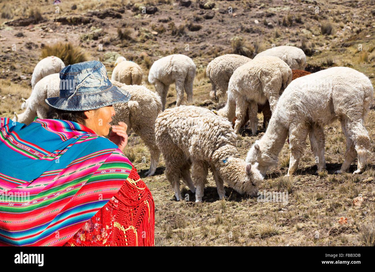 Lama's grazing on the Altiplano above El Alto, Bolivia. - Stock Image