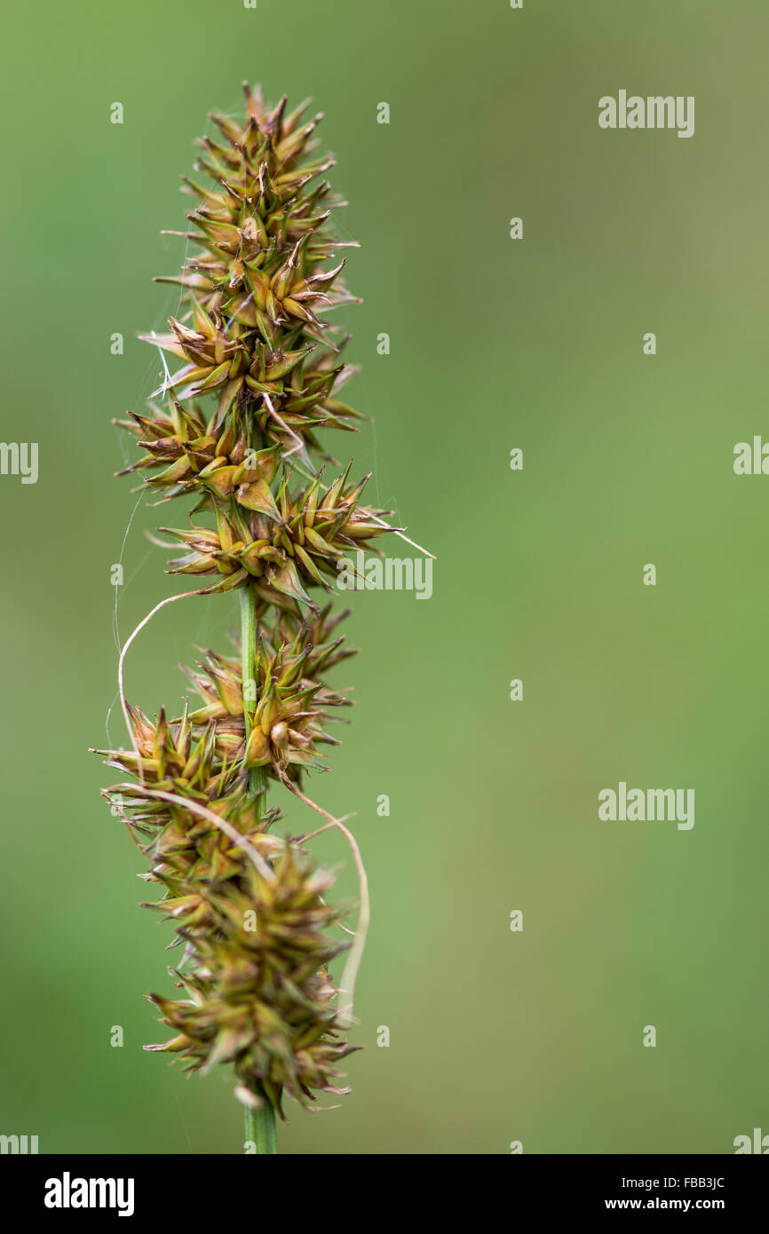 False fox-sedge (Carex otrubae). A frequent coastal flower in the family Cyperaceae, in fruit - Stock Image