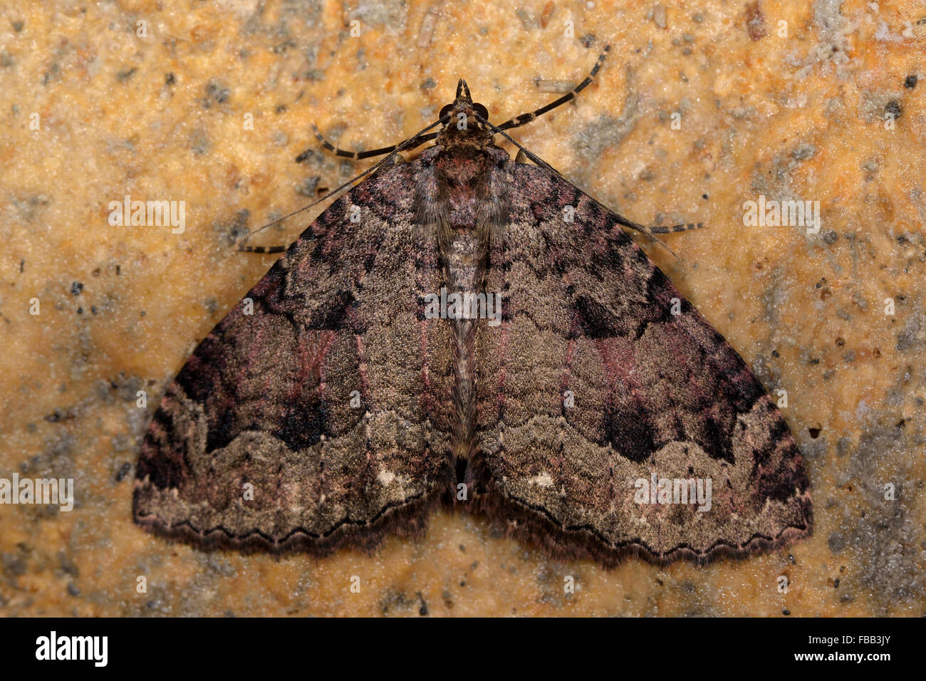 The tissue moth (Triphosa dubitata). A moth in the family Geometridae at rest on stone - Stock Image
