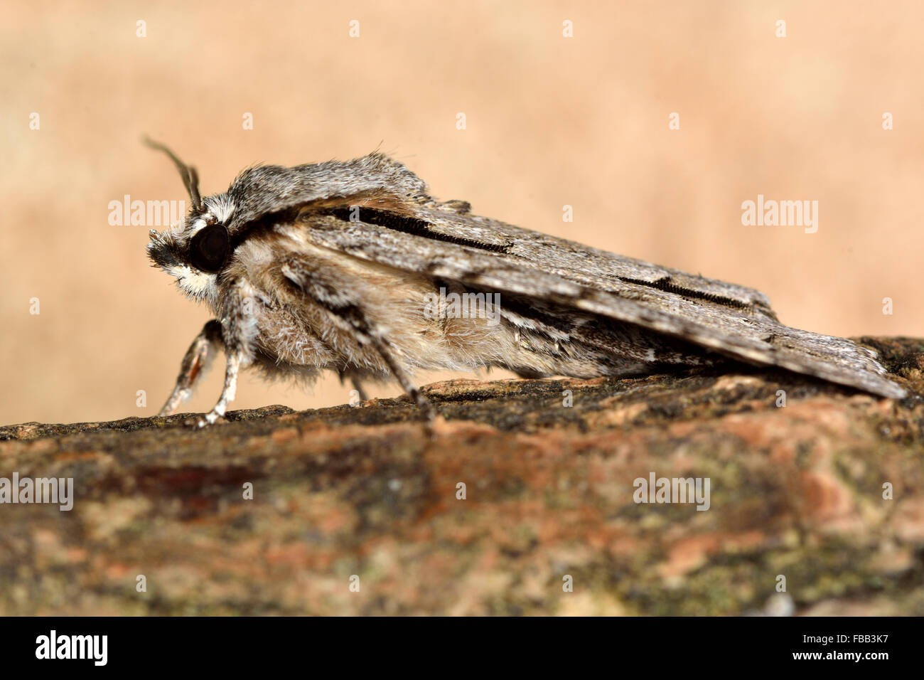 Grey dagger (Actronicta psi) moth. A moth in the family Noctuidae, at rest and shown in profile - Stock Image