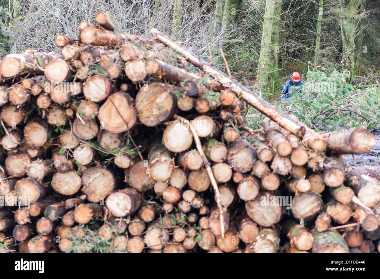 Ballydehob, Ireland. 13th Jan, 2016.  A Coillte timberjack works in Ballydehob Forest behind a pile of already felled Stock Photo
