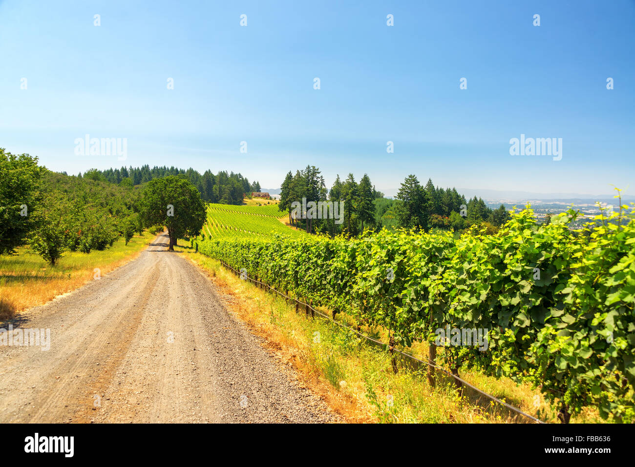 Gravel road passing vineyards near Dundee, Oregon - Stock Image