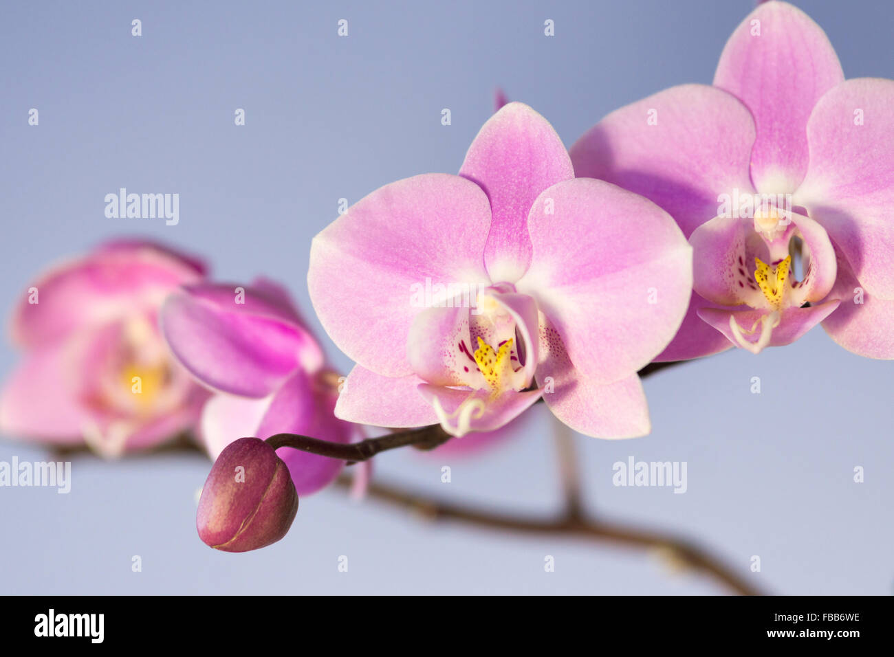 A studio shot of a moth orchid, Phalaenopsis, abbreviated to Phal in the horticultural trade - Stock Image