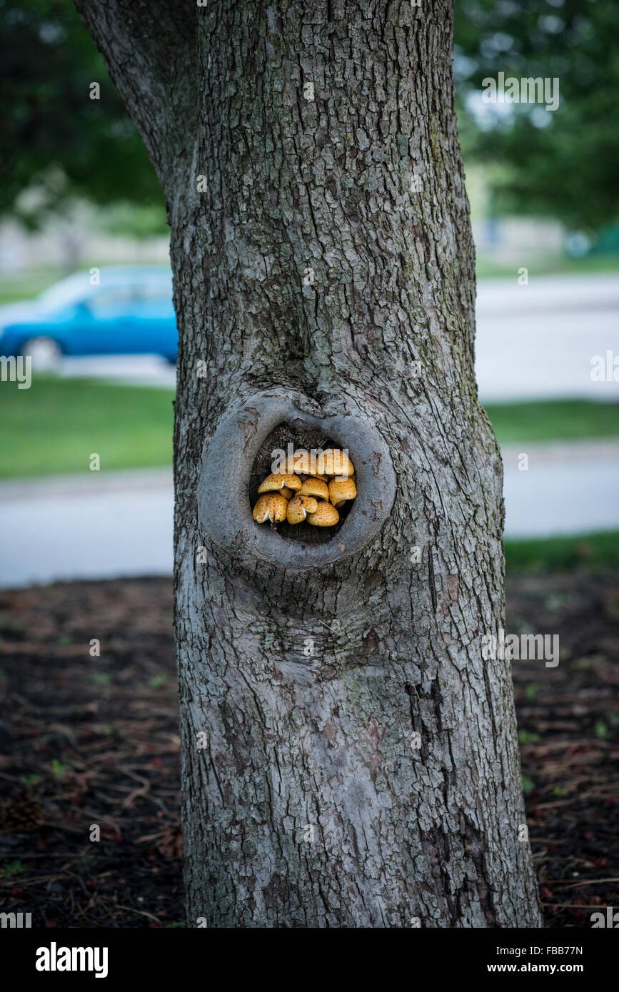Orange-brown mushrooms grow in a small hollow in a tree - Stock Image