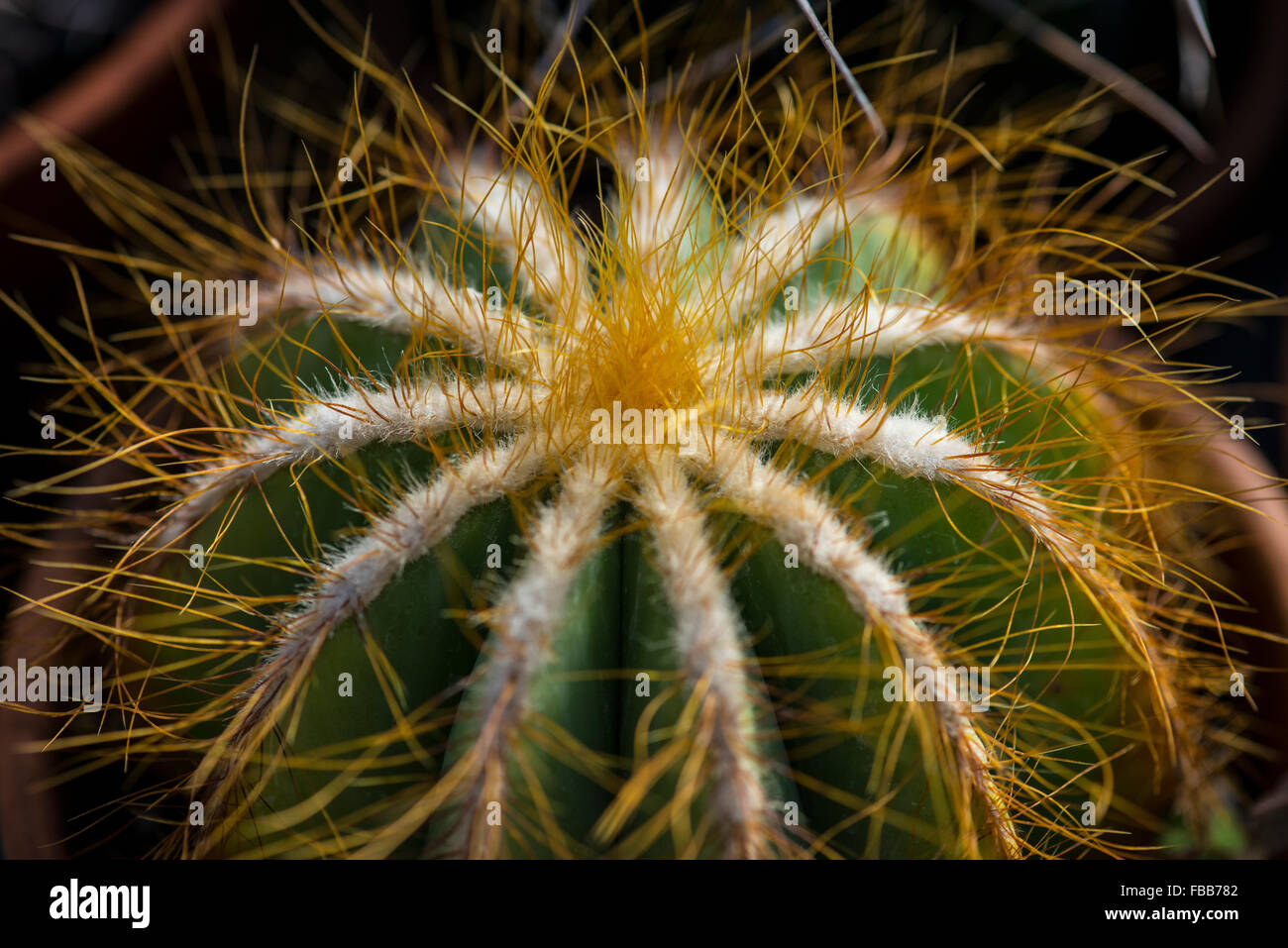 Close up image of the top of a barrel cactus (variety unknown) showing spines and fuzz - Stock Image