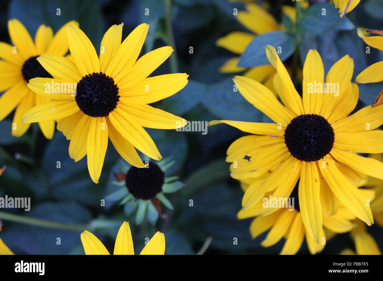 picture of sunhat 'Sonnenhut' flowers in a Garden - Stock Image