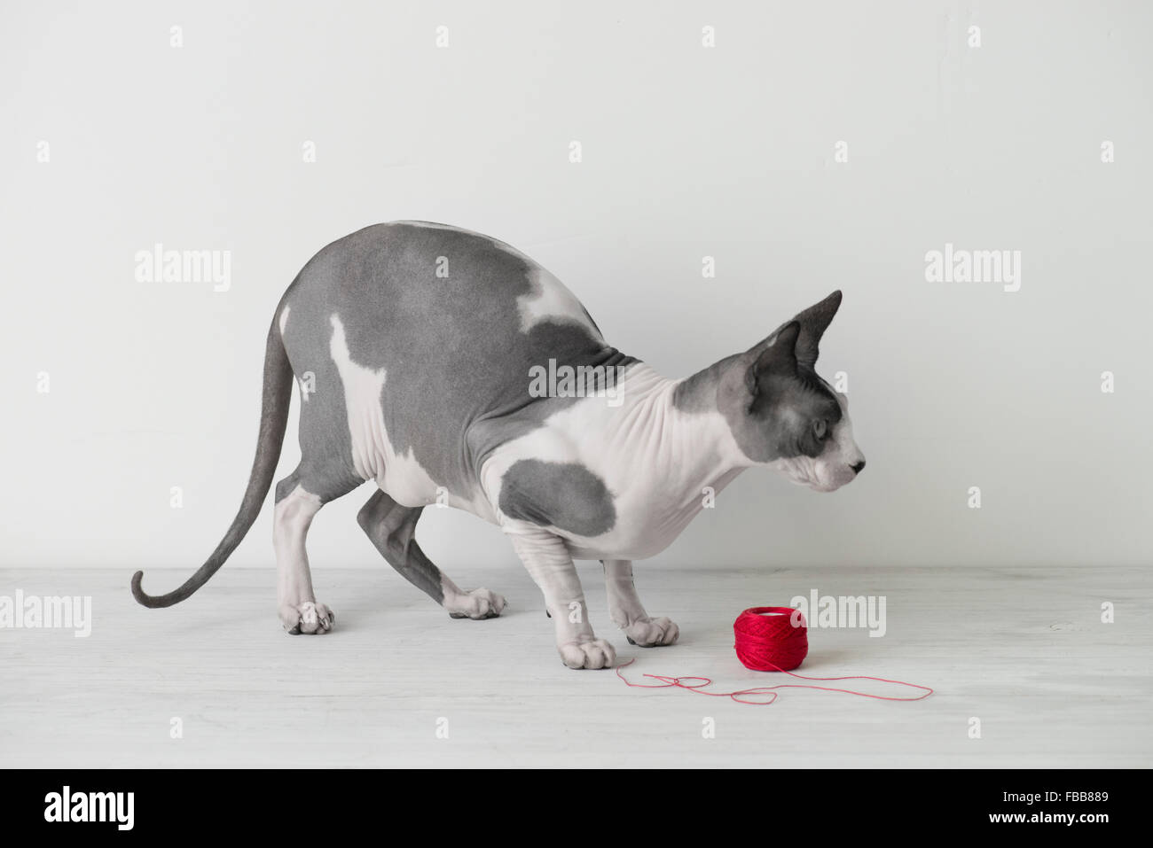 Hairless cat plays with red string - Stock Image