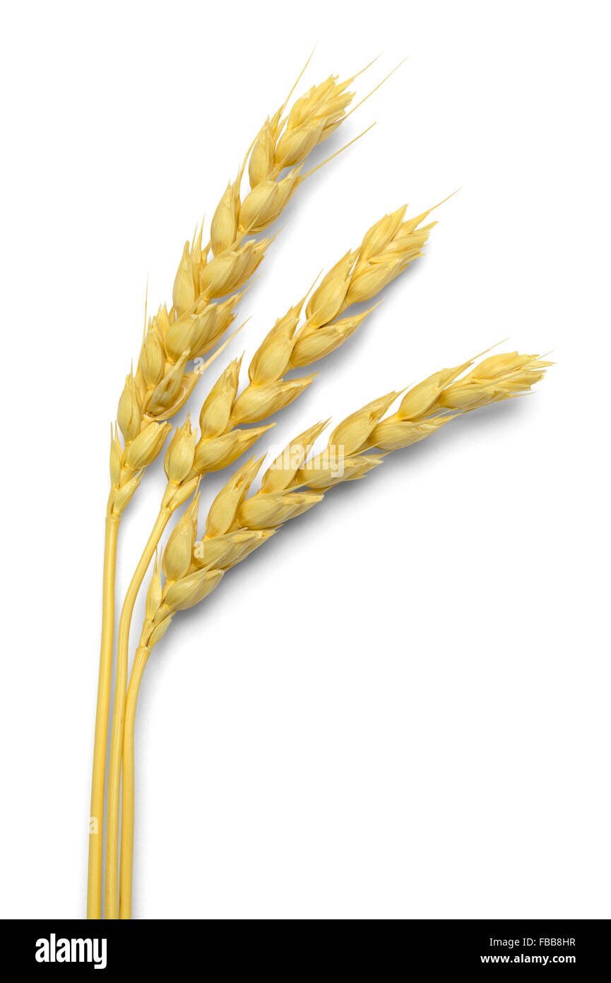 Three Stocks of Wheat Isolated on White Background. - Stock Image