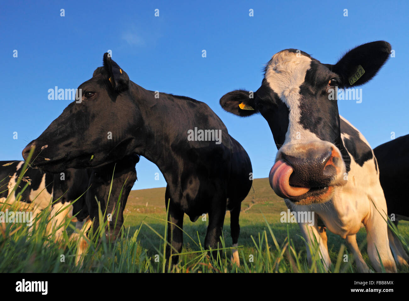 Holstein Cows - black and white patched cows (Bos taurus) Stock Photo