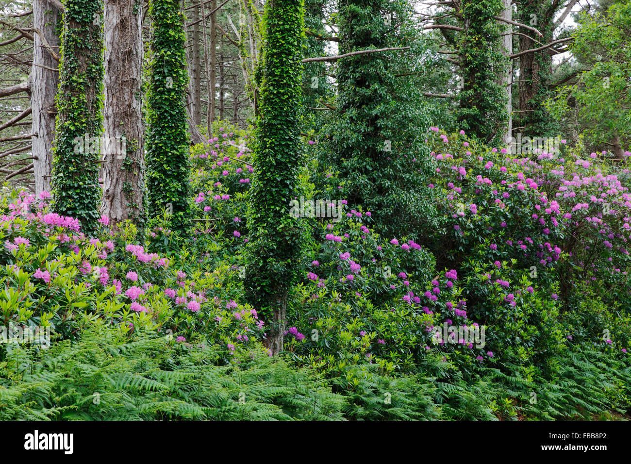wild growing rhododendron at the roadside near Kenmare on the Ring of Beara, County Cork, Ireland - Stock Image