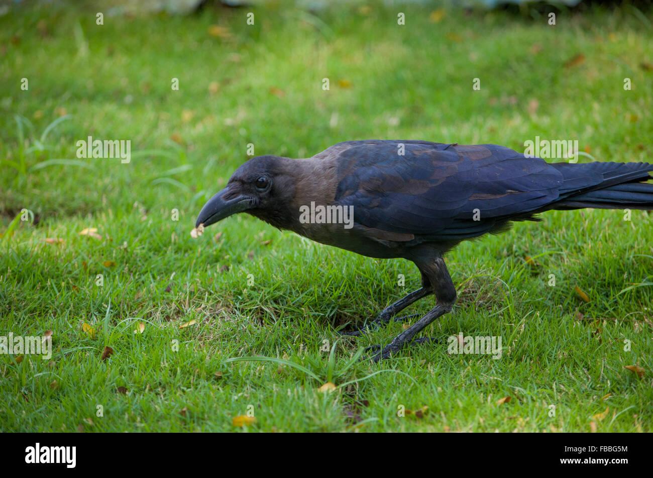 bird a black raven on a grass,a bird,a black raven in a grass,a raven,feathery,a bird goes,on a grass,a genus of - Stock Image