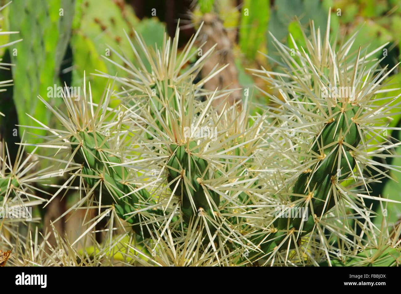 Opuntia tunicata 02 Stock Photo