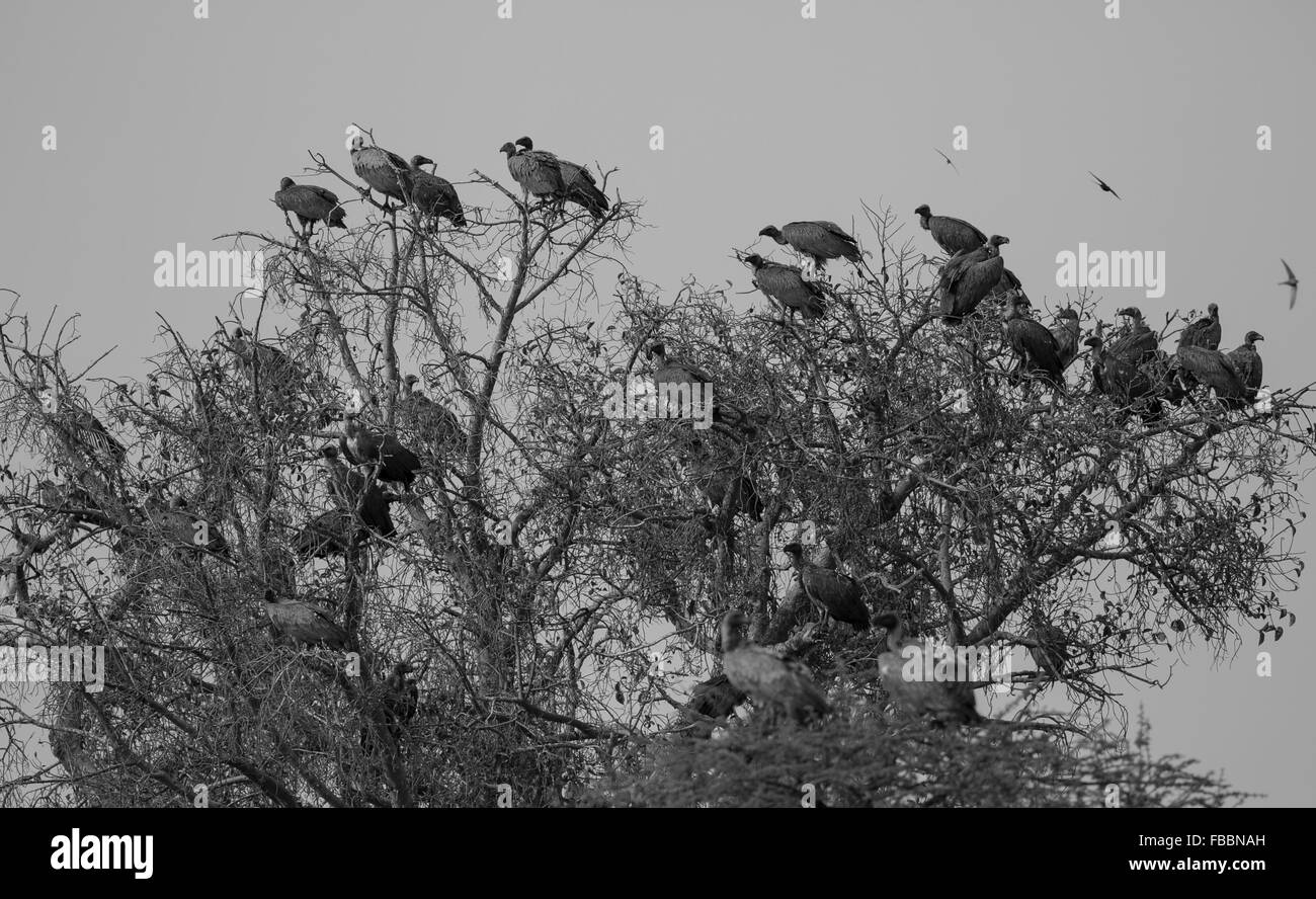 A silhouetted flock (committee) of African white-backed and hooded vultures perched high in a tree at sunset, Chobe - Stock Image