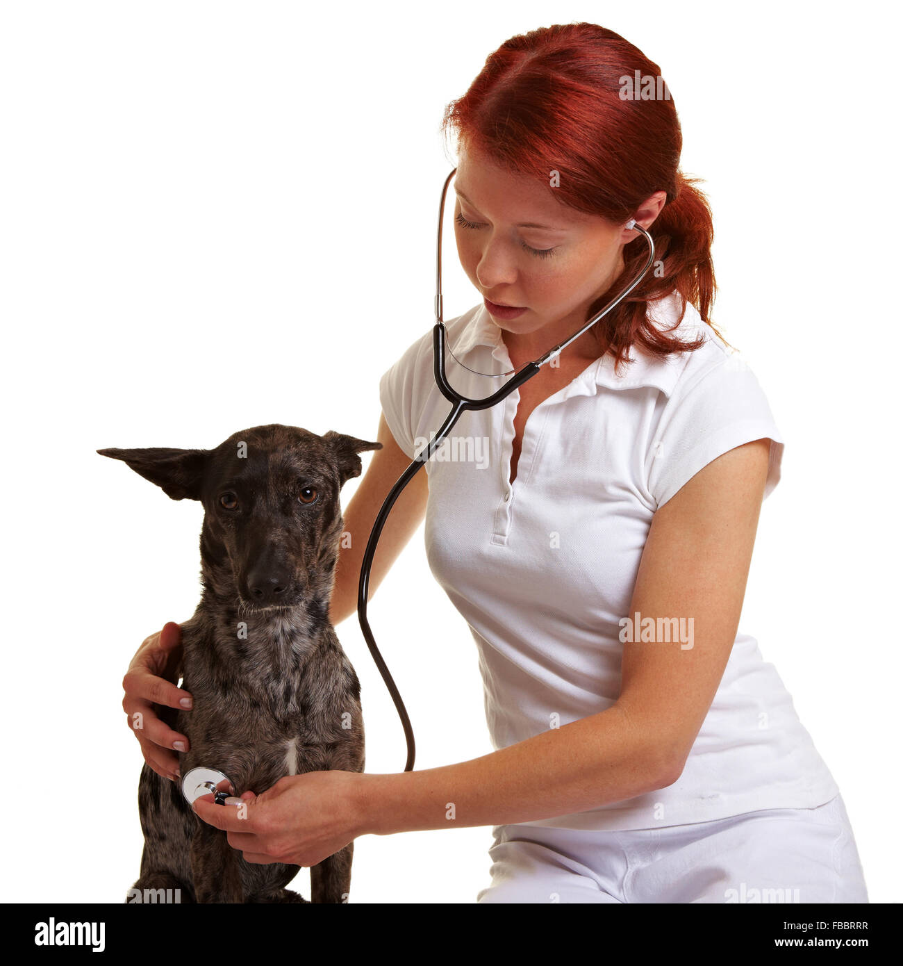 Female veterinarian using stethoscope on a crossbreed dog - Stock Image
