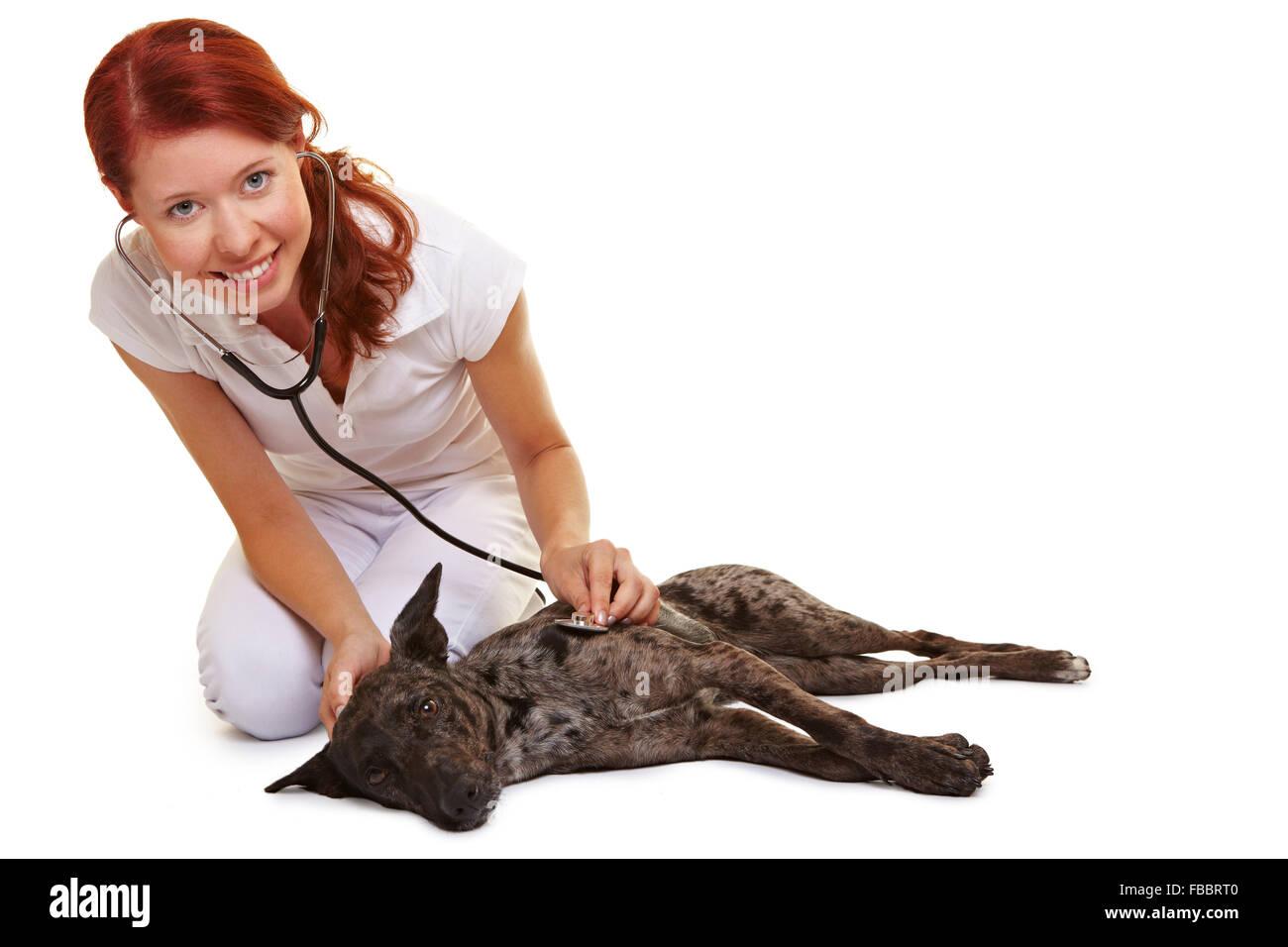 Smiling female vet examing sick dog with stethoscope - Stock Image
