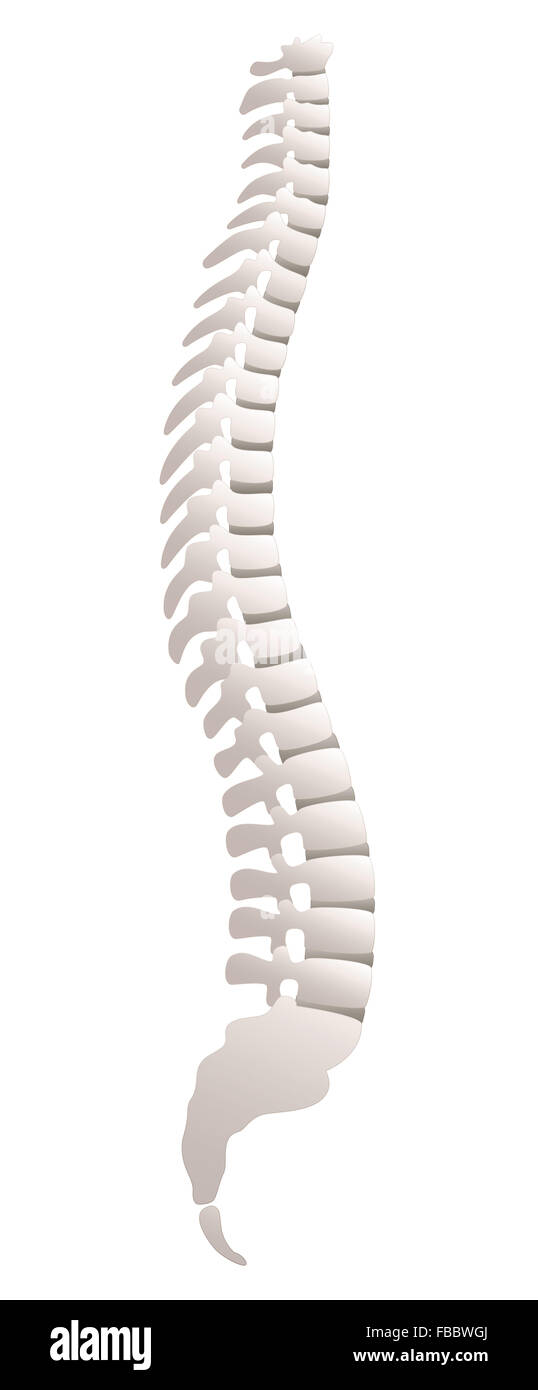 Backbone - lateral view. Illustration over white background. - Stock Image