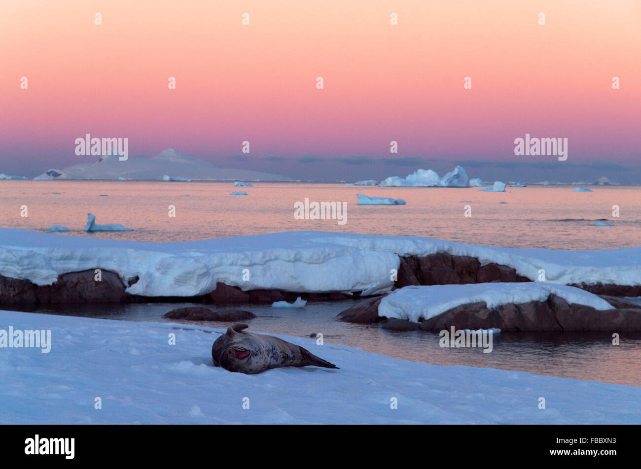 Crabeater Seal on ice and antarctic sunset - Stock Image