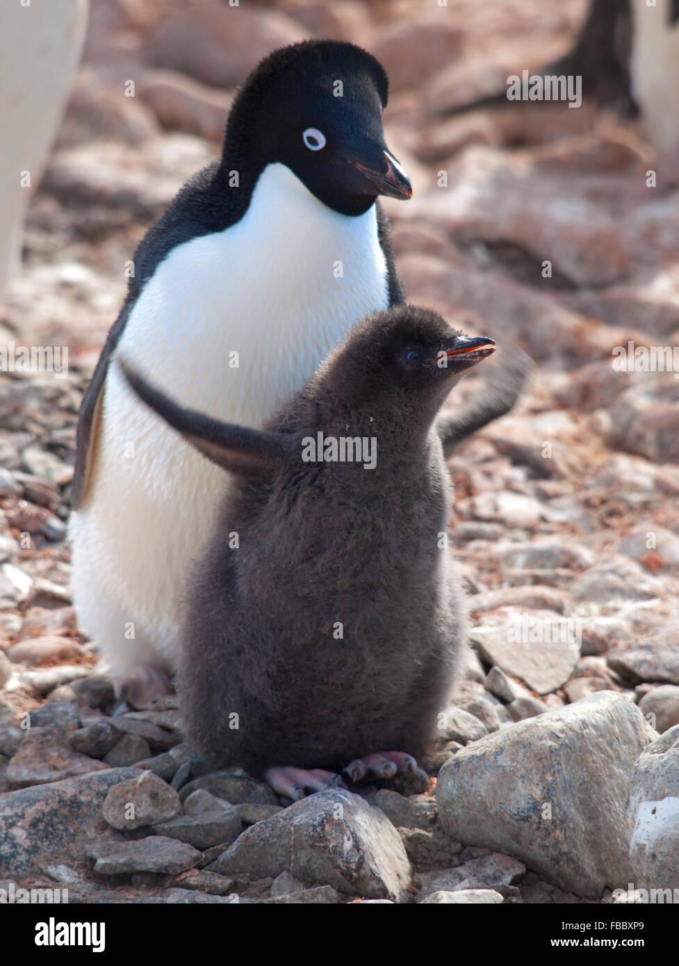 Adelie penguin parent and chick, Antarctic Peninsula - Stock Image