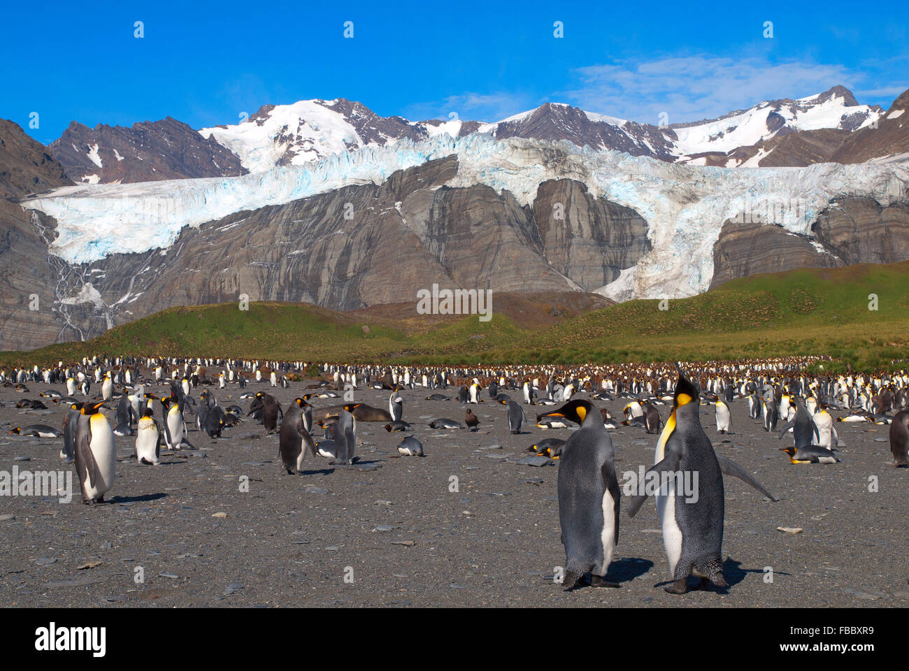 King penguin colony Gold Harbour, South Georgia - Stock Image