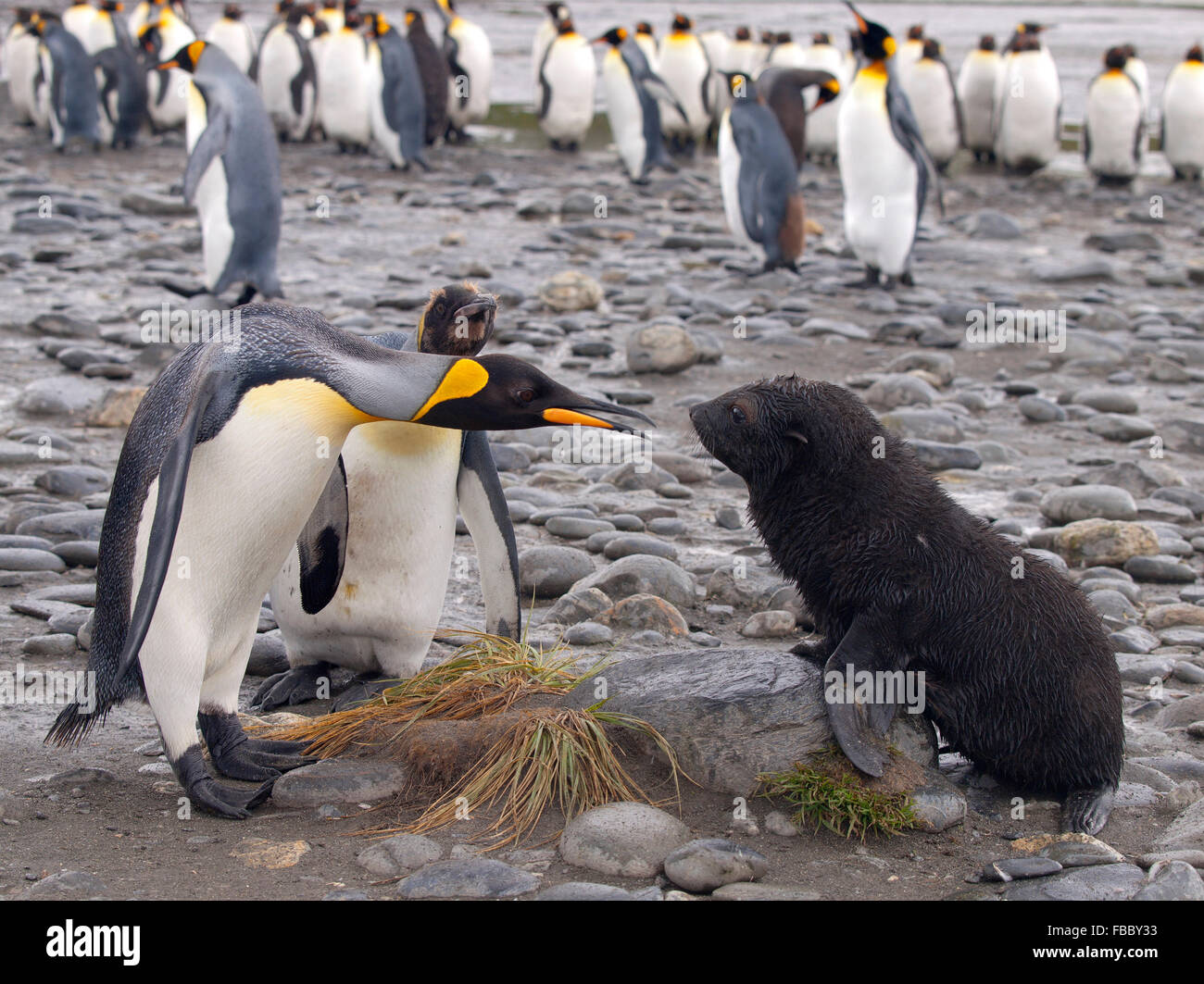 King penguin face off with baby fur seal, Salisbury Plain South Georgia - Stock Image