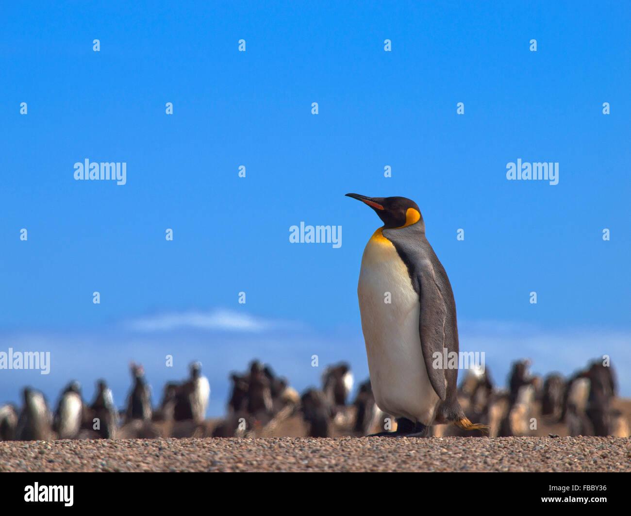 King penguin skyline, South Georgia - Stock Image