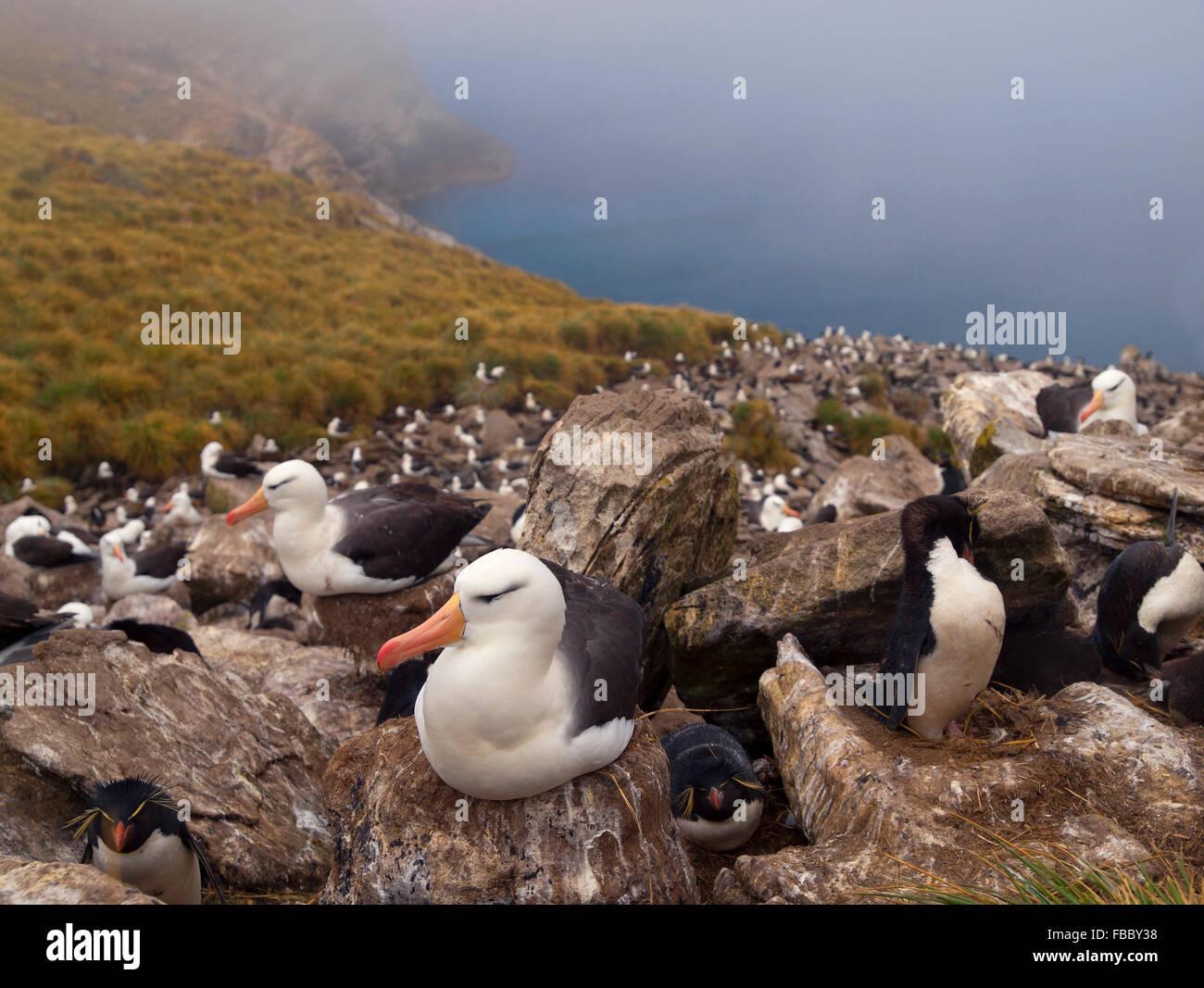 Black browed albatross and rockhopper penguin colony, Falkland Islands - Stock Image